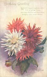 BIRTHDAY GREETING  three red & one white chrysanthemums, bud lower left