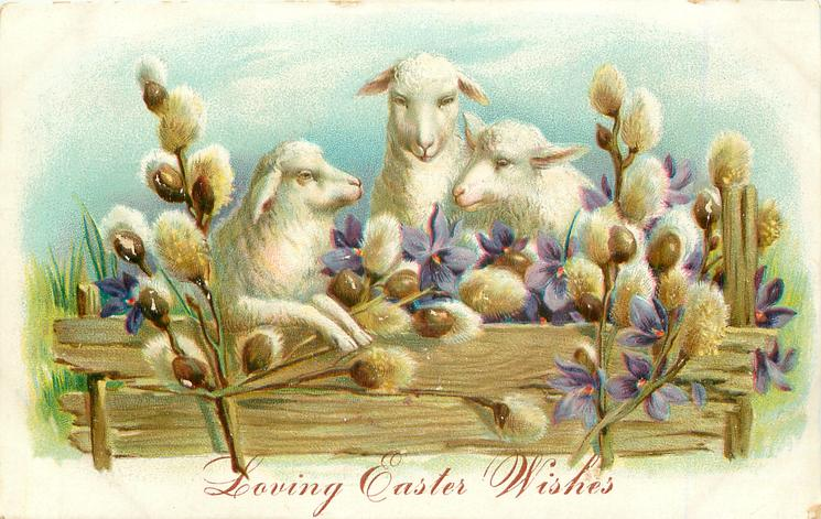 three sheep behind fence, violets around, pussy-willow front