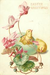 chick sits beside another hatching from green Easter egg, purple cyclamen front