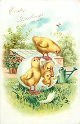 chick stands front as two chicks hatch from an easter egg, another stands above, garden, shed & green watering-can behind