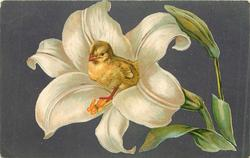 chick nestled in easter lily, purple background