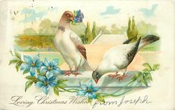 LOVING CHRISTMAS WISHES pigeon bringing blue flowers to mate, both perched on wall, blue clematis front