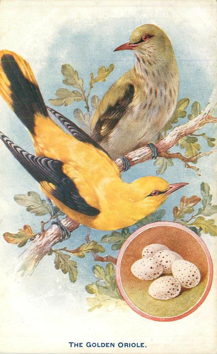 THE GOLDEN ORIOLE