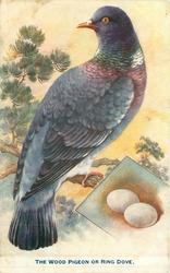 THE WOOD PIGEON OR RING DOVE