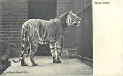 A ROYAL BENGAL TIGER