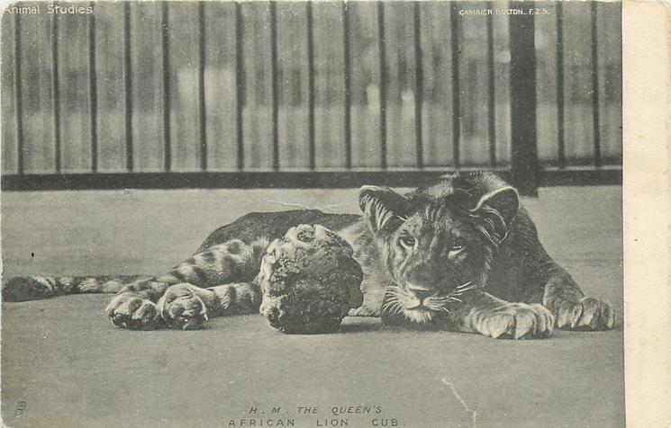 H.M. THE QUEEN'S, AFRICAN LION CUB