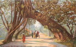 BANYAN TREE ARCH,  NEAR COLOMBO