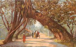 CEYLON. BANYAN TREE ARCH,  NEAR COLOMBO