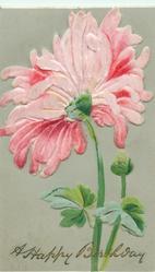 large pink  dahlia