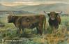 HIGHLAND BULL & COW