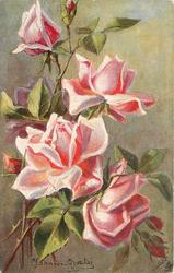 pink roses, three open with heads hanging,five buds