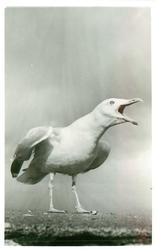 gull facing half right, squalking