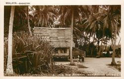 THE RAW MATERIAL (MENGKUANG GROWING) hut behind clump of mengkuang