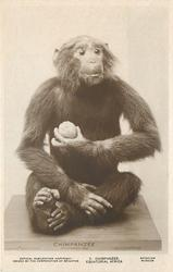 CHIMPANZEE, EQUATORIAL AFRICA  animal seated