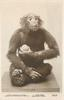 CHIMPANZEE, EQUATORIAL AFRICA  animal seated