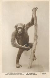 CHIMPANZEE, EQUATORIAL AFRICA  animal standing/climbing