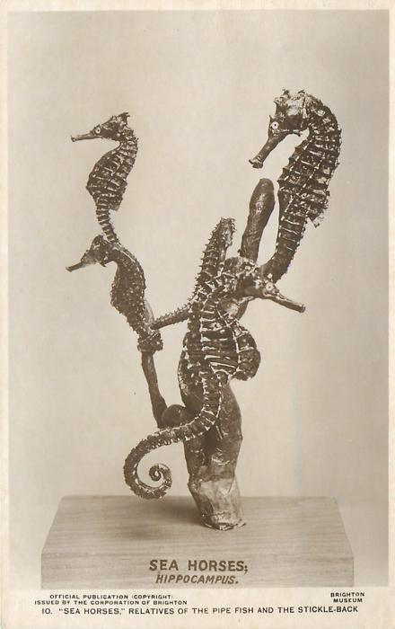 """SEA HORSES,"" RELATIVES OF THE PIPE FISH AND THE STICKLE-BACK"