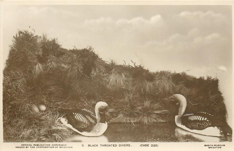 BLACK THROATED DIVERS (CASE 220)