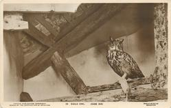 EAGLE OWL (CASE 310)