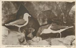 GREAT BLACK BACKED GULL (CASE 233)