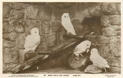 BARN OWLS AND YOUNG  (CASE 54)