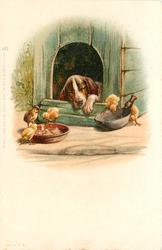 sleepy dog in doghouse, 5 chicks eat his food