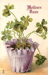 four leaf clovers plant in mauve pot