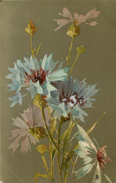 BLEUTS cornflowers