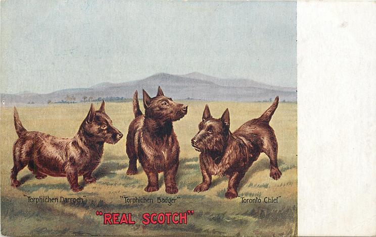 """""""REAL SCOTCH"""" 3 terriers """"TORPHICHEN DARROCH"""", """"TORPHICHEN BADGER"""", """"TORONTO CHIEF"""""""