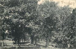 MAPLE AVENUE IN SUMMER-TIME