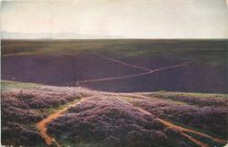 fields of purple heather, very distant view of shepherd and flock of sheep