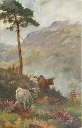 MOUNTAIN MONARCHS  one brown steer and one white walking down heather covered hill