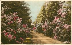 THE RHODODENDRON DRIVE
