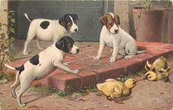 GOOD SPORT three puppies watch two ducklings tugging at the same worm