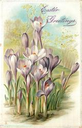 many purple crocus