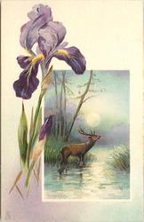 purple iris left, inset of stag calling right