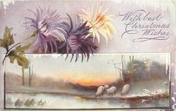 WITH BEST CHRISTMAS WISHES  two purple & a yellow/orange chrysanthemum above insert of 4 sheep