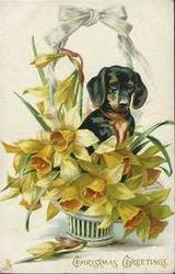 CHRISTMAS GREETINGS, dachshund among daffodils