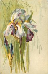 purple/white iris