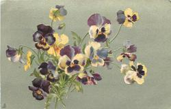 muilticoloured pansies