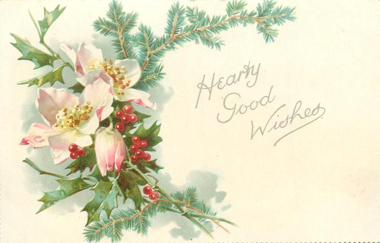 HEARTY GOOD WISHES  pink/white christmas roses (hellebores) & holly
