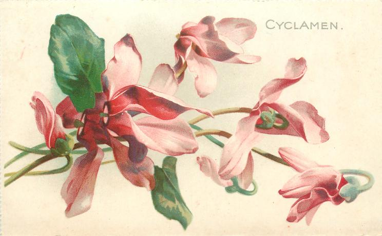 CYCLAMEN  stalks to left, name upper right