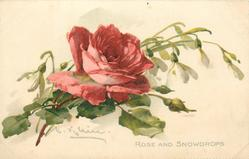 ROSE AND SNOWDROPS