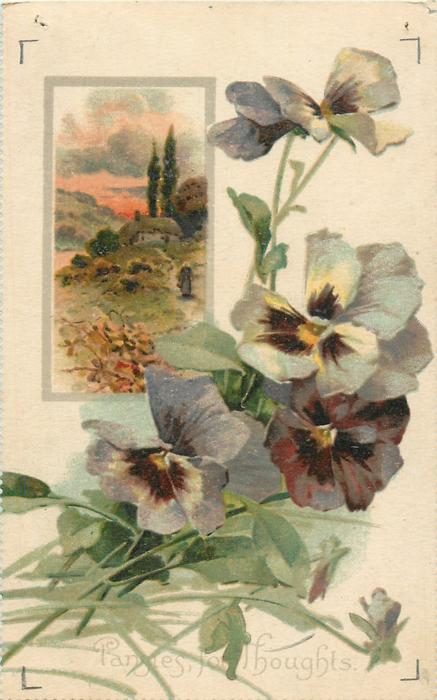 PANSIES, FOR THOUGHTS  pansies