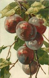PLUMS  six medium fruits