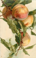 PEACHES  four fruits hang down