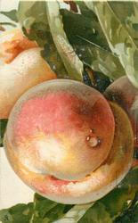 PEACHES  large fruit in front, two behind