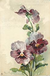 ALL GOOD WISHES FOR CHRISTMAS  three pansies, purple/white with orange centres