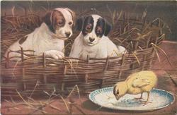 two puppies in basket, looking at a chick on a plate