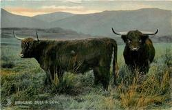 HIGHLAND BULL AND COW.